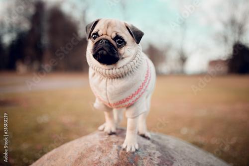 New born female pug dog outdoor Fotobehang