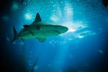 Shark Swimming In The Giant Aquarium Of The Lisbon Oceanarium