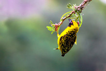 Southern Masked Weaver Building A Nest