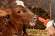 juges Kälbchen im Kuhstall wird mit Milch aus der Flasche gefüttert