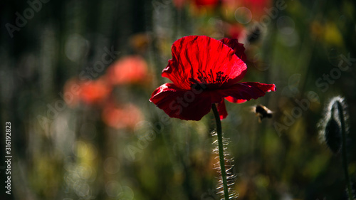 Delicate petals of poppies, illuminated by sunlight Wallpaper Mural