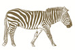 vector illustration of a zebra isolated on the white background