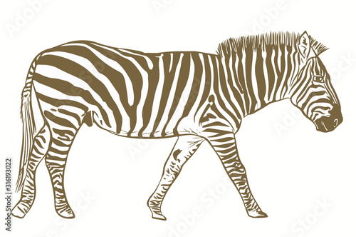 vector illustration of a zebra isolated on the white background  - 316193022