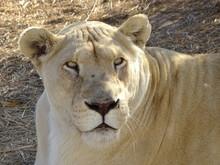 Weiße Löwin 164