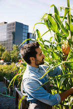 Male Chef Tending To Corn Plant In Sunny, Urban Community Garden