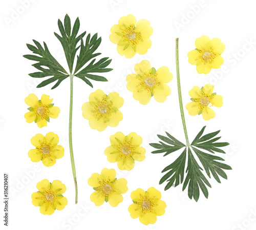 Pressed and dried flower and green carved leaves potentilla or cinquefoil, isolated on white background Fototapeta