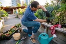 Man Harvesting Fresh Vegetables In Community Garden