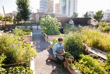 Male Chef Harvesting Fresh Vegetables In Sunny, Urban Community Garden