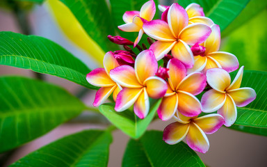 Panel Szklany 3D Plumeria flower.Pink yellow and white frangipani tropical flora, plumeria blossom blooming on tree.