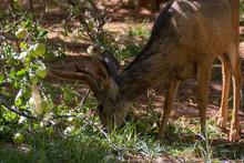 Male Deer In The Apple Garden ...