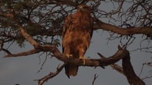 Lesser Spotted Eagle In A Tree...