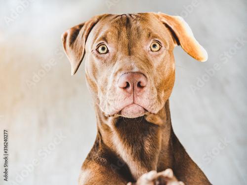 Fotografia Lovable, pretty puppy of chocolate color