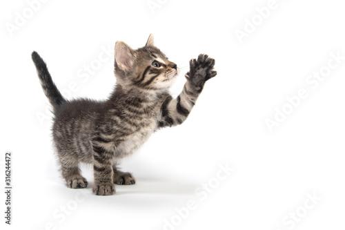 Photo Cute tabby kitten on hind legs