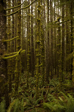 Green, Moss Covered Trees In W...