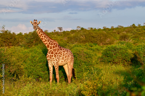 Photo  Giraffen im Nationalpark Tsavo Ost, Tsavo West und Amboseli in Kenia