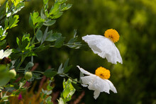 White Blooming Flowers Of Matilija Poppies Or Romneya Coulteri, Sometimes Called Fried Egg Flower, Native To California