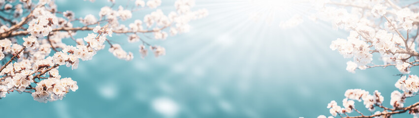 Flowering apricot branches on a background of blue sky bathed in sunlight: the concept of spring time