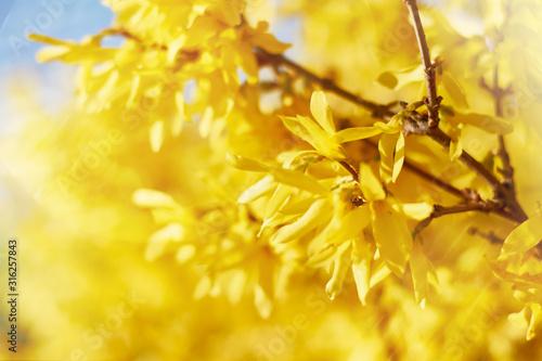 Carta da parati Closeup of blooming Forsythia twigs on a bright spring day: springtime concept a