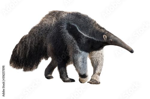 Fotomural Giant anteater / ant bear against white background