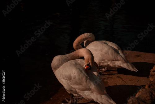 Cisnes en la oscuridad Canvas Print