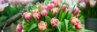 Banner Spring flowers background bunch of colorful tulips , Hello Spring and  Woman day concepts
