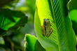 Red eyed tree frog between the leaves of a green plant in Tortuguero National Park in Costa Rica