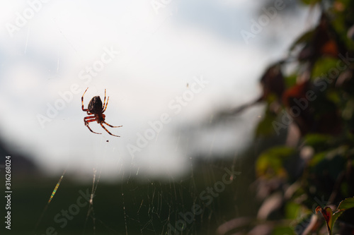 medium close shot of a spider backlit by the evening sun waits in its web with a Wallpaper Mural