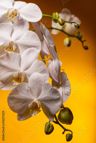 Fotomural White orchid branch on a yellow background