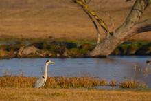 Grey Heron - Ardea Cinerea Near Pond