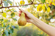 canvas print picture - Female hand holds Fresh juicy tasty ripe pear on branch of pear tree in orchard for food or pear juice, harvesting. Crop of pears in summer garden outside. Village, rustic style. Stock photo.