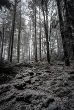 Winter Wald Mit Schnee, Bäume...