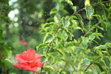 Summer Rain In The Garden, Rai...
