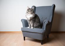 Blue Tabby Maine Coon Cat Sitt...