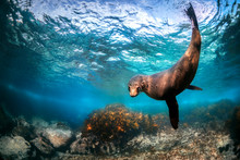 Playful Seal Swimming In The Crystal Clear Water, Australia