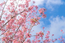 Beautiful Pink Cherry Prunus Cerasoides Wild Himalayan Cherry Like Sakusa Flower Blooming On Blue Sky Background At North Thailand , Chiang Mai ,Thailand.