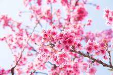 Soft Focus Cherry Blossoms, Pink Flowers Background.