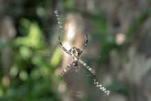 Argiope Aurantia (Black And Yellow Garden Spider)
