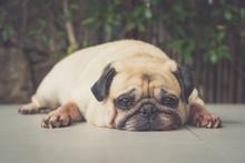 Funny Sleepy Pug Dog With Gum ...