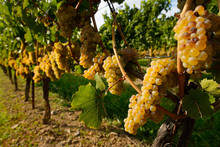 Golden Riesling Grapes On Rows...