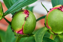 Buds Of Pink Peonies And Ants.