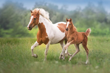 Pinto Mare And Red Foal Run On...