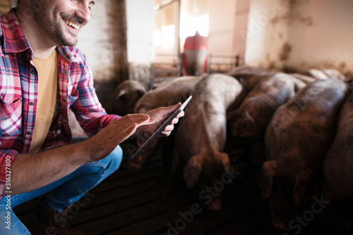 Fotografia Closeup view of farmer touching tablet at pig farm while pigs domestic animals eating in background