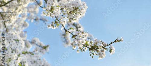 close on white flowers blooming in the branches of the tree in springtime on blue sky background