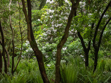 Winding Trunks Of Rhododendrons In A Blooming Garden