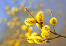 Beautiful Pussy Willow Flowers...