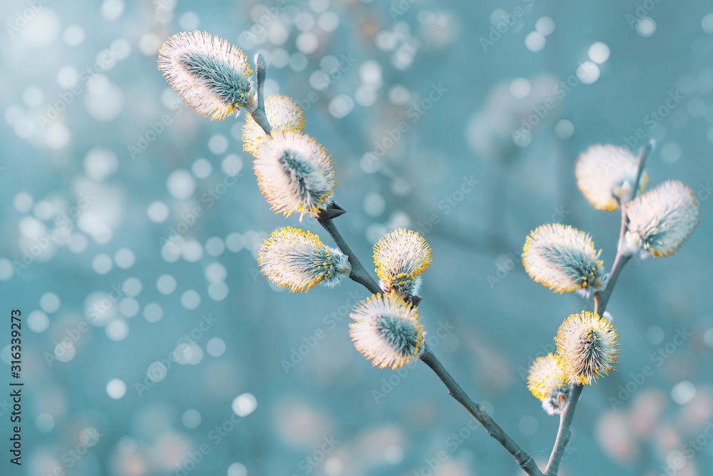 Fototapeta Beautiful pussy willow flowers branches. Easter palm sunday holiday. Amazing elegant artistic image nature in spring. Willow flowers and sunlight. Spring easter pussy willow branches
