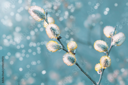 Fototapeta Beautiful pussy willow flowers branches