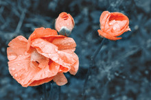 Beautiful Pink Poppy Flowers I...