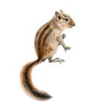 Forest Chipmunk (squirrel) Wat...