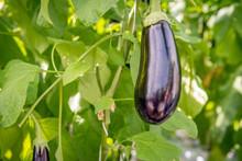 Purple Fruit Of An Eggplant Fr...